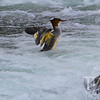 Common Merganser frolicking in Yellowstone River