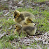 a trio of goslings in Wild Acres Park, Overland, Mo.