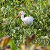 a stalking White Ibis