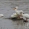 """ just hanging out "" White Pelicans"