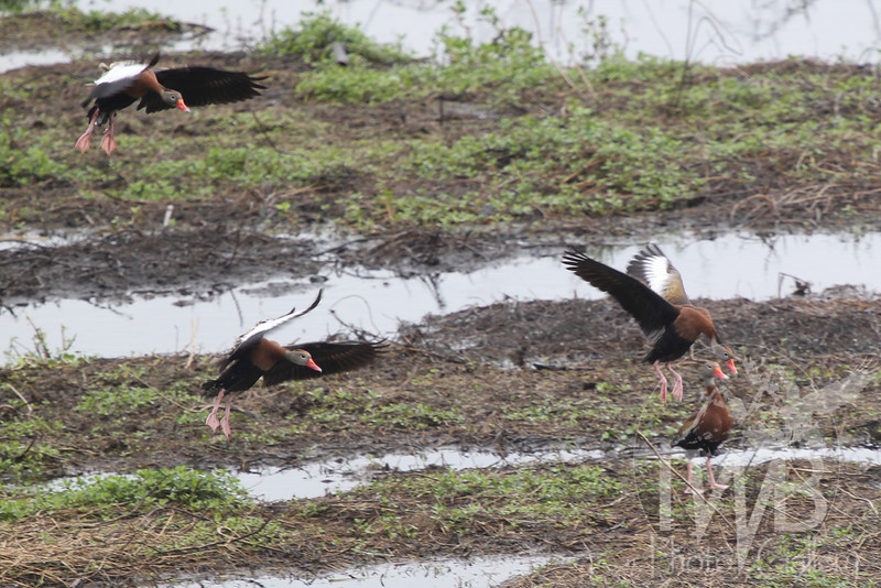 a busy runway, incoming Black-bellied Whistling Ducks find new territory to explore,