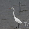 a Great White Egret, in the surf of Creve Coeur Lake , Missouri