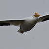 108 inches of wingspan, a soaring White Pelican