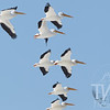 Migrating White Pelicans over B.K. Leach wetlands,Missouri and Mississippi River