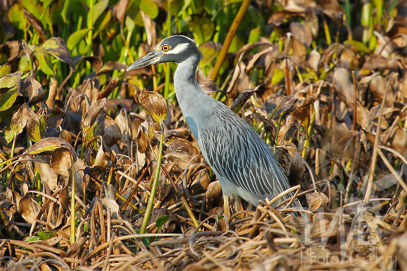 searching the fauna, a Yellow-crowned Night Heron, Brazos Bend state Park, Texas