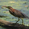 colored to blend in , a Green Heron stays alert, Brazos Bend State Park, Texas