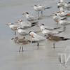 Tern,Tern, Tern...Honeymoon Beach , Fla