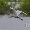 a Great White Egret takes flight