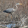 Great blue Heron looking for food