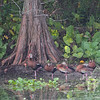 a gathering of Black-bellied Whistling Ducks, Brazos Bend State Park, Texas