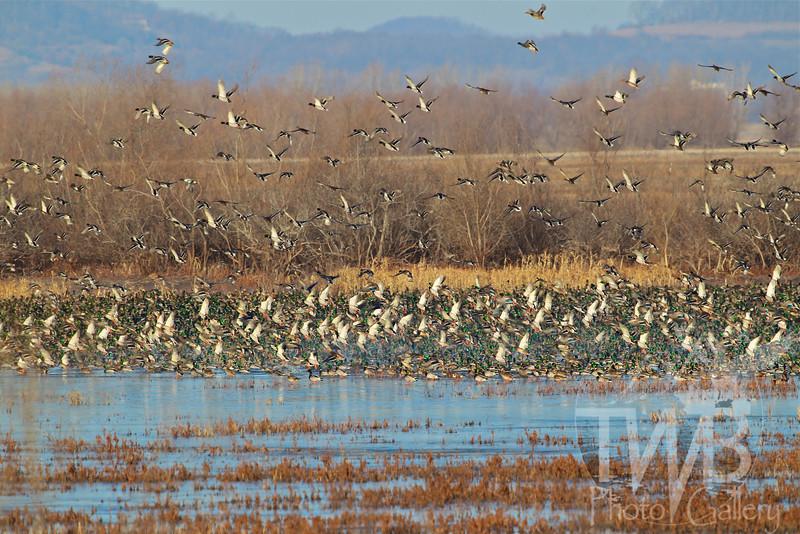 late fall migration Mallards and more, Clarence Canon W.L.R,Annada, Missouri