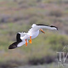 zeroing in for a water landing, a white Pelican in Wyoming