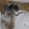 Great Blue Heron in Forest Park
