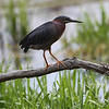 a Green Heron in Rt 66 Park