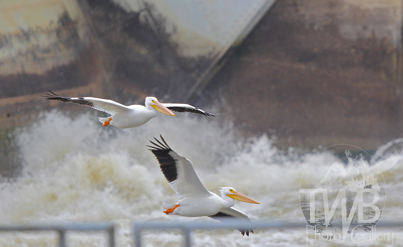two White Pelicans,by the churning waters by the Lock and Dam in Clarksville, Mo