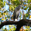 a Great Blue Heron perched on a dead tree in the woods of Forrest Park, St. Louis, Mo.