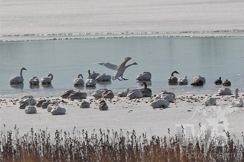 Trumpeter Swans ; winter migration