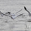 cruising the Mississippi; white Pelicans in flight