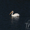 a white pelican floating the waterways of the Grand Tetons