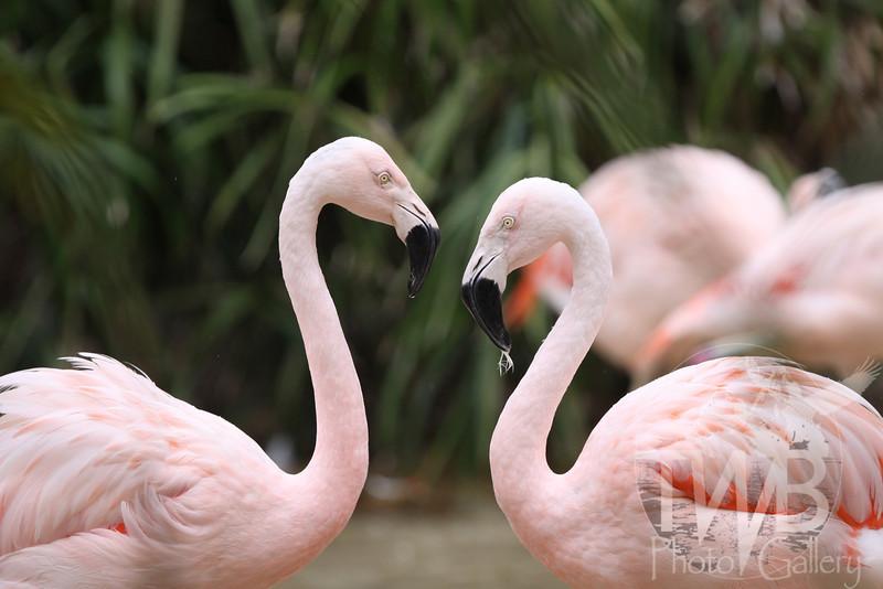 """ Who's prettier "" , 2 Pink Flamingos eye to eye"