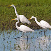 three for the hunt, Egrets on the move