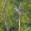 a juvenile Yellow-crowned Night Heron