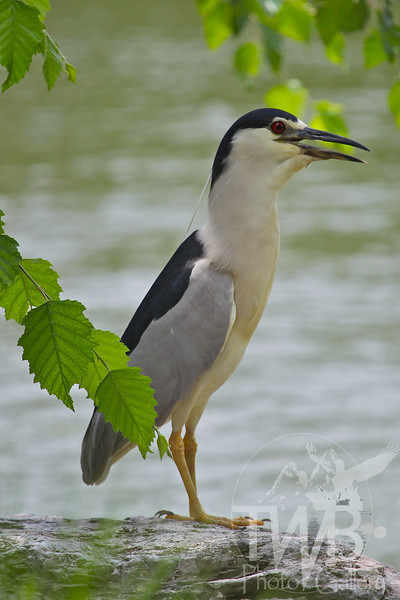 a visit to the Missouri Botanical Gardens, a Black-crowned Night-Heron