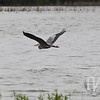 a Great Blue Heron flying low over the waterways in Annada, Missouri