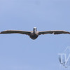 Brown Pelican heading home, eastern Houston waterway