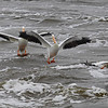 the Mississippi River provides a safe respite for the White Pelicans