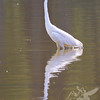 Egret fishing the waters of Creve Coeur Lake, St. Louis County
