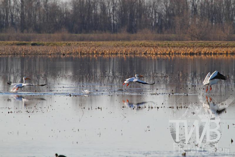 White Pelicans enjoying Missouri wetlands