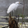 a Snowy Egret,perched waiting to make the next move