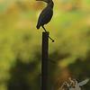 Queeny Park Green Heron