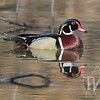 Reflecting pool, a Wood Duck in all it's color