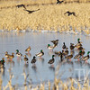 wintering ducks on ice