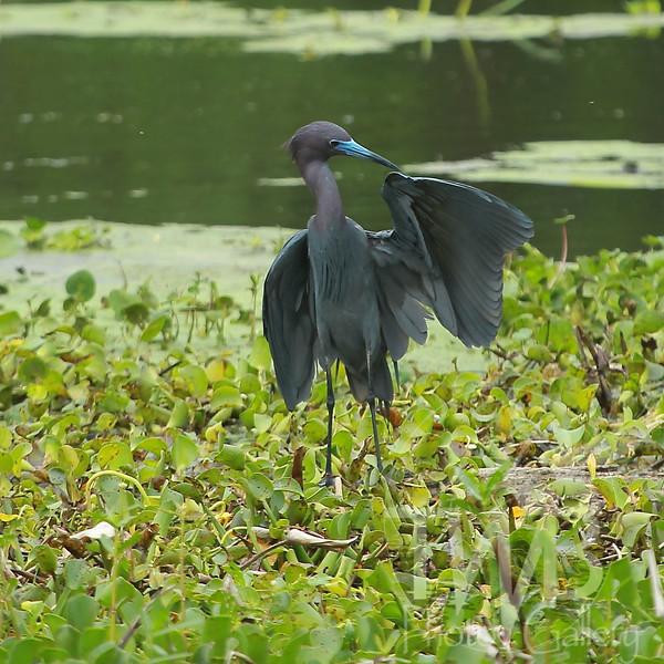 little Blue Heron, non-breeding; Brazos Bend Texas