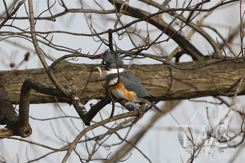 a female belted Kingfisher and lunch