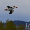 Tetons offer everything this White Pelican could need