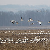 Snow Geese take over a harvested field in northeastern Missouri