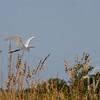 Great Egret coastal shoreline, Gulf of Mexico