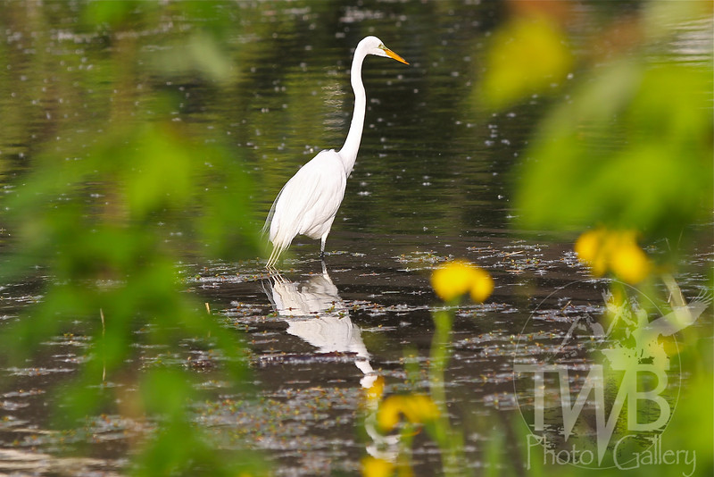 a great Egret in search of a meal