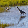 sharing the wetlands, Great Blue Heron and friends, Hayden Valley, Yellowstone N.P.