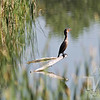 a Double-crested Cormorant, fishing a wetland outside Denver