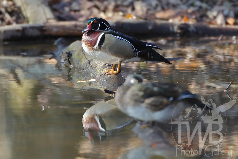 morning light on a Wood Duck in Forest Park