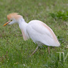 a Cattle Egret in Forest Park