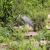 Night Heron in Forest Park