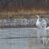 Mute Swans, further south west than usual, at B.K. Leach wildlife area,outside of Elsberry, Mo.