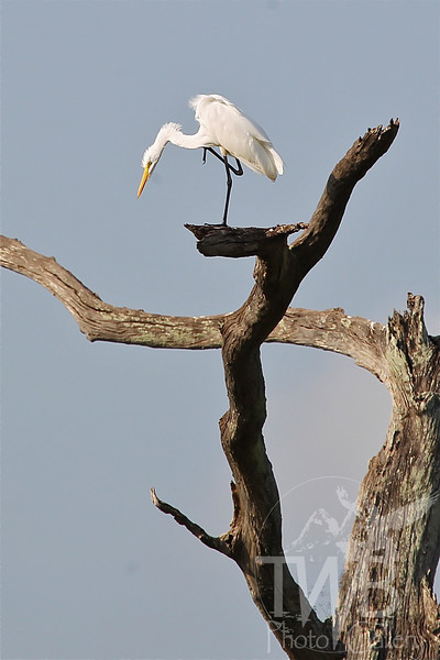eyeing potential meals , a Great Egret stays focused, at Brazos Bend State Park, Texas