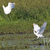 establishing territory, two Egrets in the marshes of Clarence Canon W.L.R. , Annada ,Missouri